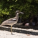 strandgriel-beach-thick-knee-02