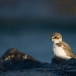 strandplevier-kentish-plover-04