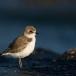strandplevier-kentish-plover-05