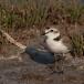 strandplevier-kentish-plover-07