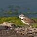 strandplevier-kentish-plover-09