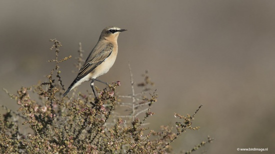 Tapuit - Northern Wheatear 10