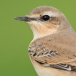 tapuit-northern-wheatear-01