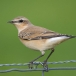 tapuit-northern-wheatear-02