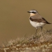 tapuit-northern-wheatear-03
