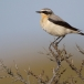 tapuit-northern-wheatear-09