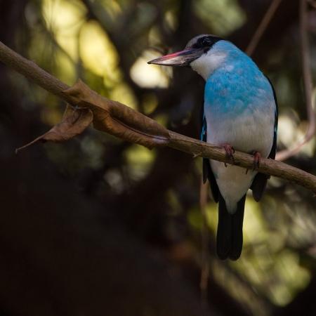 teugelijsvogel-blue-breasted-kingfisher-03