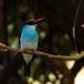 teugelijsvogel-blue-breasted-kingfisher-01