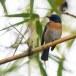 Tickells-niltava-Tickells-blue-flycatcher-01