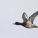 Topper -  Greater scaup 01