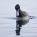 Topper -  Greater scaup 04