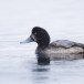 Topper -  Greater scaup 05