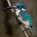 Turkooisijsvogel – Cerulean Kingfisher