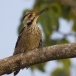 vaalborstspecht-fulvous-breasted-woodpecker-01