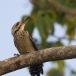 vaalborstspecht-fulvous-breasted-woodpecker-02