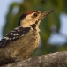 Vaalborstspecht &#8211; Fulvous-breasted Woodpecker