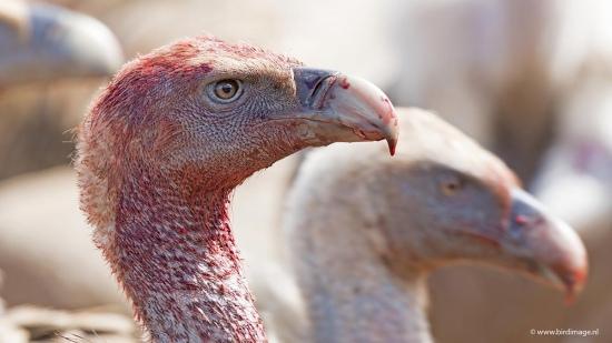 Vale gier - Griffon Vulture 015