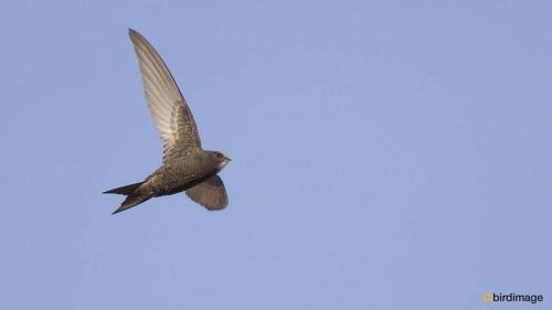 Vale gierzwaluw - Pallid Swift 02