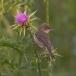 vale-spotvogel-eastern-olivaceous-warbler-01