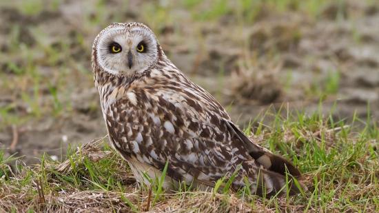 velduil-short-eared-owl-18