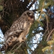 velduil-short-eared-owl-03