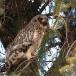 velduil-short-eared-owl-03