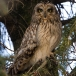 velduil-short-eared-owl-05