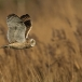 velduil-short-eared-owl-07