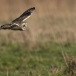 velduil-short-eared-owl-08