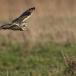 velduil-short-eared-owl-08