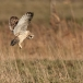 velduil-short-eared-owl-09