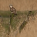 velduil-short-eared-owl-10