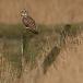 velduil-short-eared-owl-10