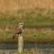 velduil-short-eared-owl-11