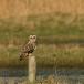velduil-short-eared-owl-11