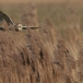 velduil-short-eared-owl-12