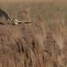 velduil-short-eared-owl-12