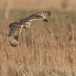 velduil-short-eared-owl-13