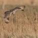 velduil-short-eared-owl-13
