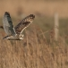 velduil-short-eared-owl-14