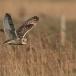 velduil-short-eared-owl-14