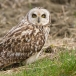 velduil-short-eared-owl-15_0