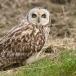 velduil-short-eared-owl-15_0