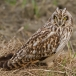 velduil-short-eared-owl-16
