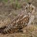 velduil-short-eared-owl-16
