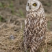 velduil-short-eared-owl-17