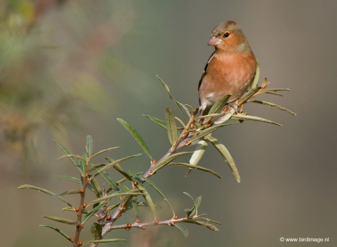 Vink - Common Chaffinch01
