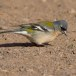 Afrikaanse Vink - African Chaffinch01