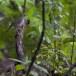 Vlekvleugellijster-Spot-winged-thrush-01