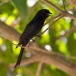 Treurdrongo – Fork-tailed Drongo